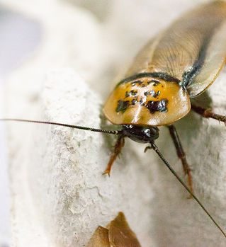 orange head roach, feeder roach, feeder insect