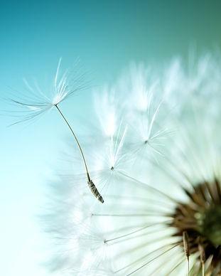 dandelion-flower-3000x2000-dandelion-see