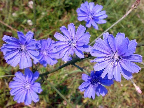 Fiore di Bach Chicory - Estratto