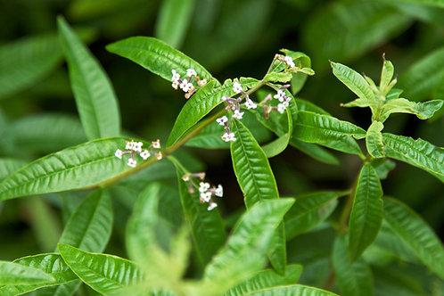 Limone Verbena