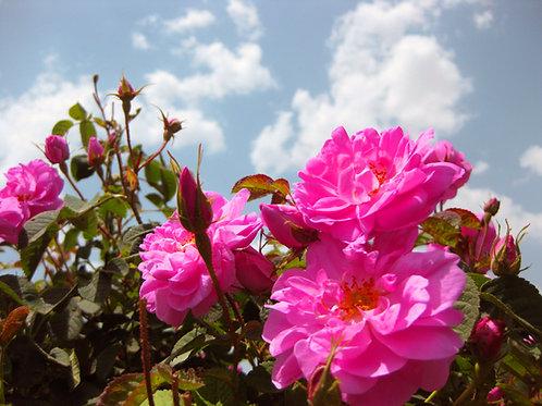 Acqua di Rose - Estratto