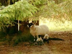 sheep.1