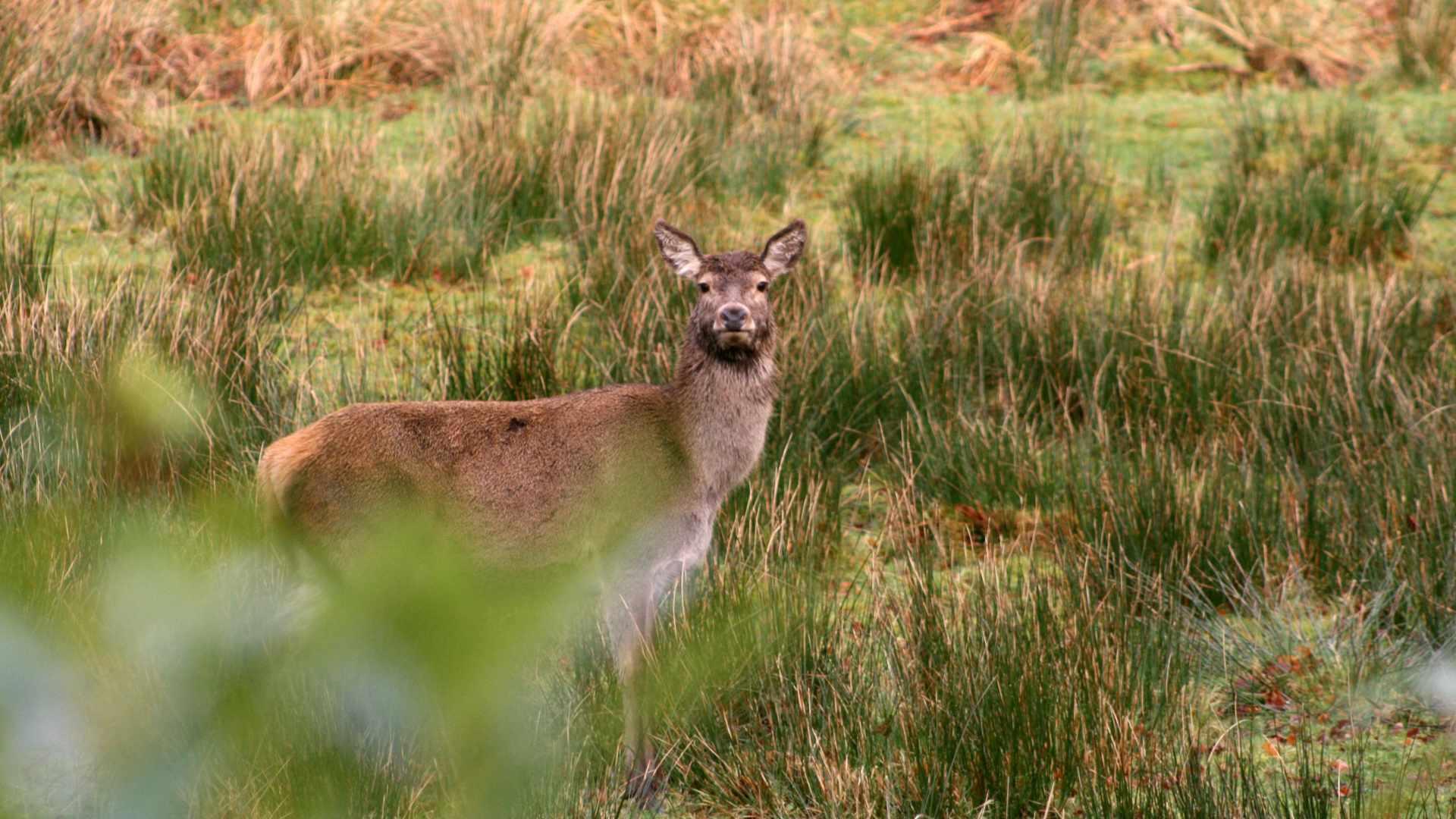 A Red Deer in The Garden