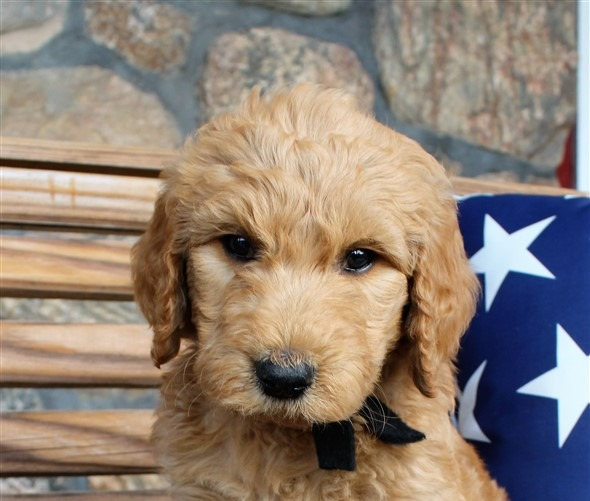Goldendoodle Puppy Breeder Ohio | Red Barn Doodles F1, F1b