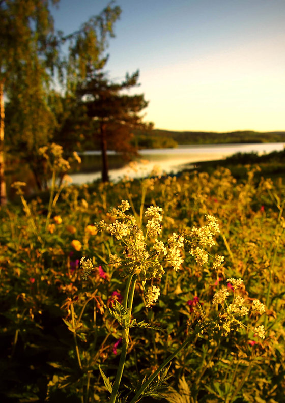 Lakeside flowers under midnight sun