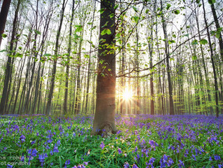 HALLERBOS, A FOREST OF BLUEBELLS