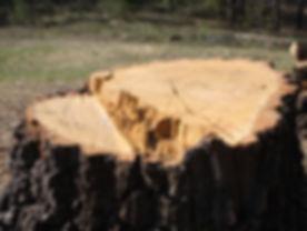 Big-Tree-Stump-3238091.jpg