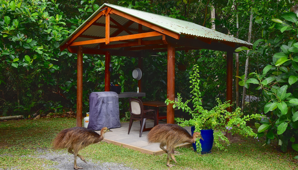 2 Juvenile Cassowary's at the bungalow 1