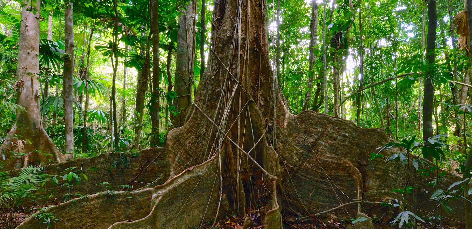 Rainforest giant