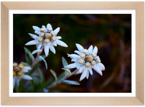 Cadre en bois - Edelweiss