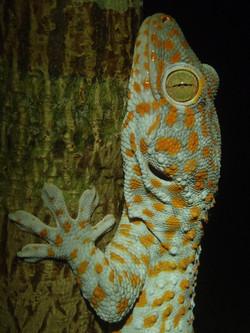 Gekko gecko (23).JPG