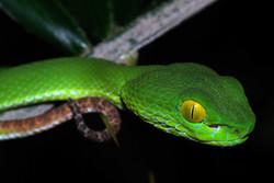 Cryptelytrops (macrops) - Pit viper (63)