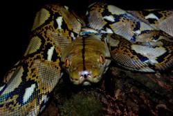 Python reticulatus (46).JPG