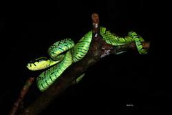Trimeresurus trigonocephalus - Sri Lanka