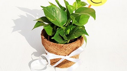 Eco friendly Green Lucky Money Plant in Coco Round Pot with Smiley - Gift Plant