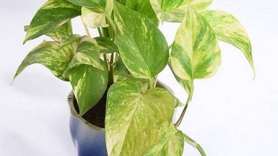 Enjoy money plant