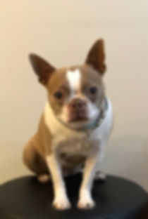 Maple Ridge Boston Terrier Dog Training Obedience