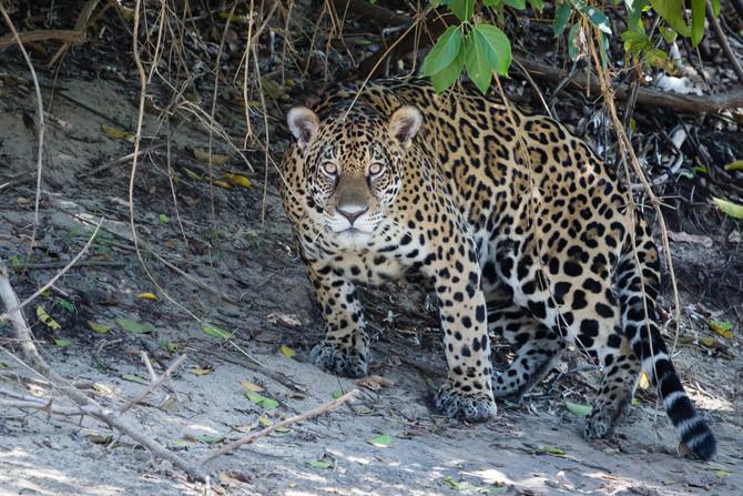 Sistema de câmeras na floresta ajuda a proteger animais na floresta amazônica