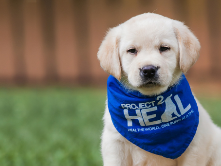 Why Train Labrador Puppies as Service Dogs?