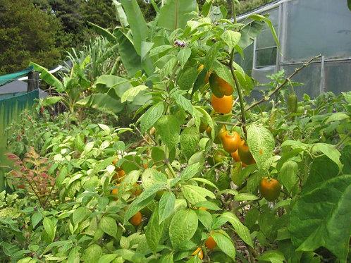 PERENNIAL PEPPER [Capsicum pubescens] ' gringo killer'