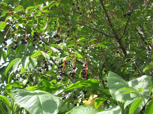 CAPULI CHERRY (Prunus capulin)