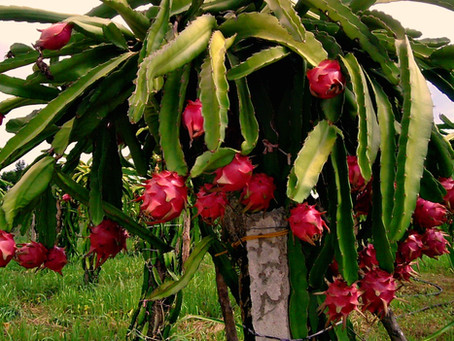 White Sapote and Dragon Fruit ready to go now