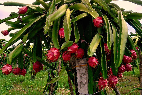 PITAYA - (Hylocereus undatus, Dragon Fruit)