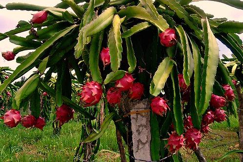 PITAYA - (Hylocereus undatus, Dragon Fruit)
