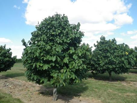 Pawpaw and Papaya - More information
