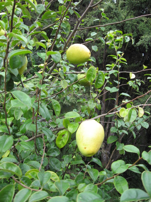 CHINESE QUINCE (Pseudocydonia sinensis)
