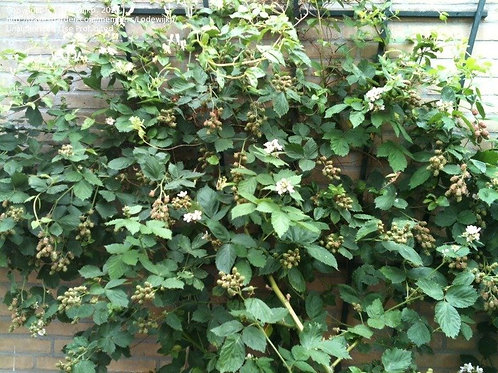 BLACKBERRY - THORNLESS  (rubis fruiticosus)