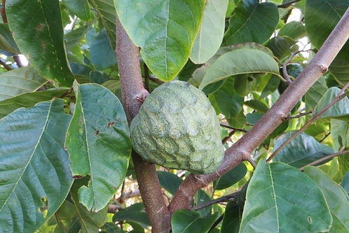 CHERIMOYA (Annona cherimola) - Also Custard Apple