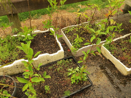 Discount Guava Hedging Plants For Sale