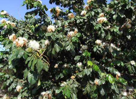 The Ins and Outs of the Inga Bean Tree (Also called the Ice Cream Bean Tree)