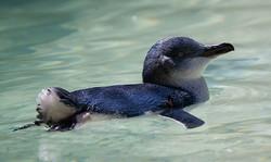 640px-Eudyptula_minor_-Perth_Zoo,_Australia_-swimming-8a_(1)