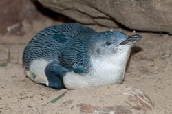 Eudyptula_minor_-Featherdale_Wildlife_Park,_Doonside,_Sydney,_Australia-8