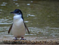 Eudyptula_minor_-Featherdale_Wildlife_Park,_Doonside,_New_South_Wales,_Australia-8a