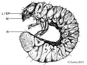 Identifying cryptic beetle larvae