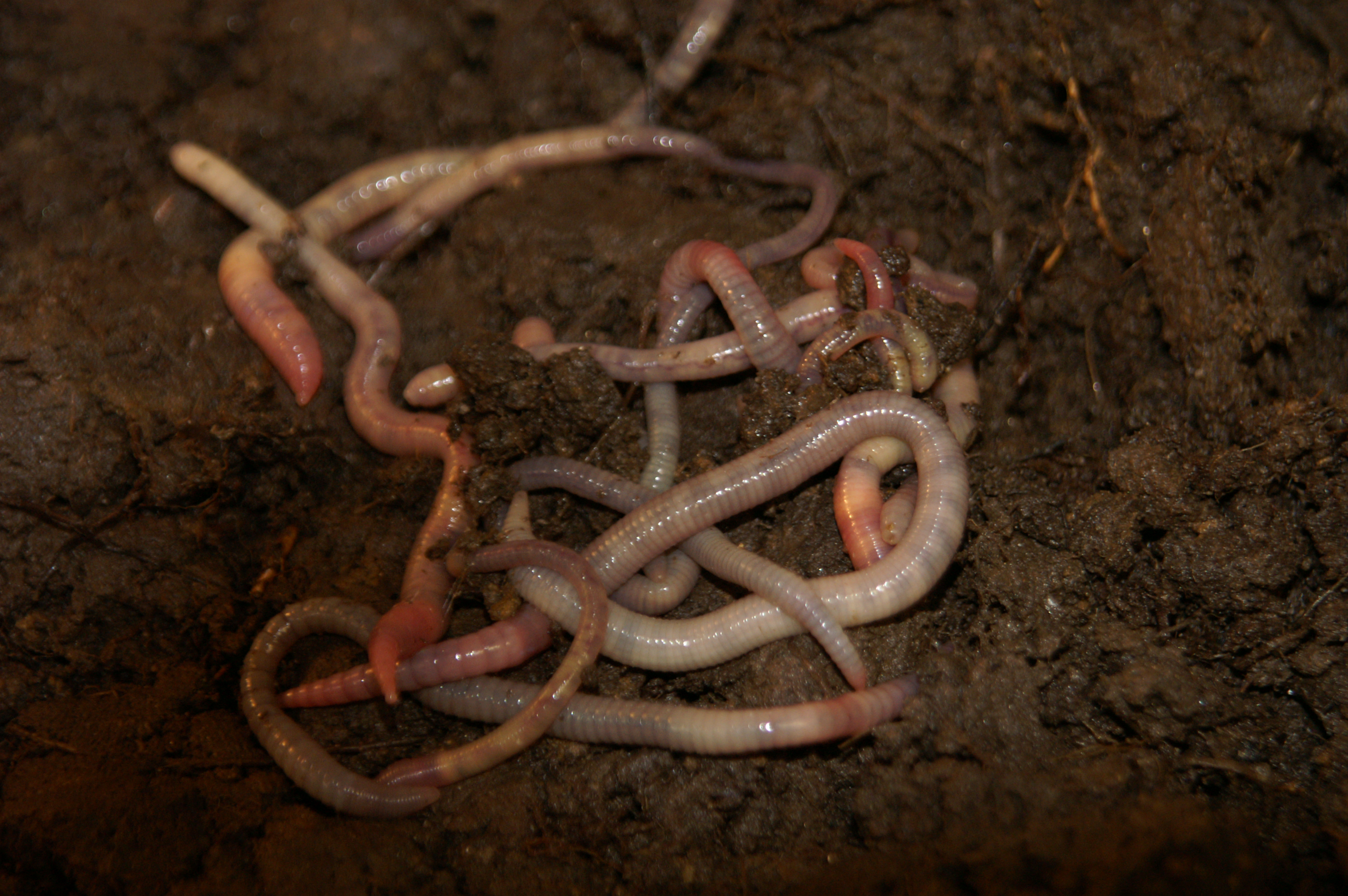 Ecology of New Zealand earthworms