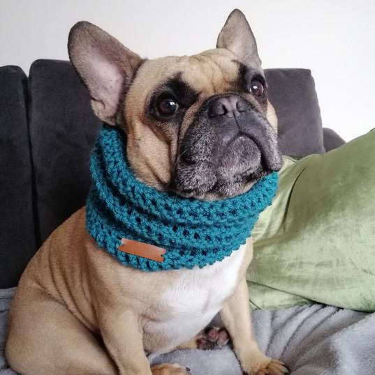 Frenchie wearing medium snood