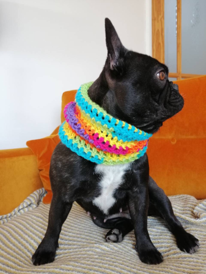 frenchie wearing small snood