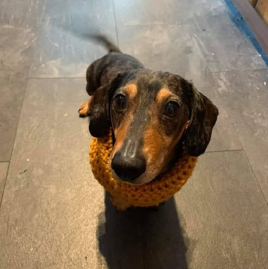 Dachshund wearing Small snood