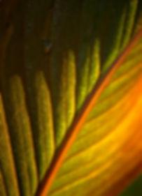 Canna Lily Leaf 2 Sept 2018.jpg