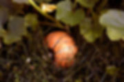 Pumpkin Patch in the Compost.jpg