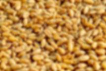gemme di grano proprietà benefihe