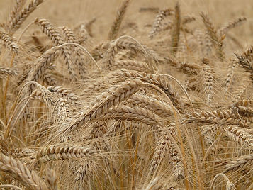 gemm d grano proprietà benefiche