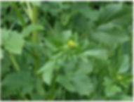 cavolicelli selvatici proprietà benefiche
