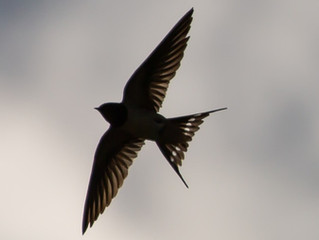 True Hope Is Swift, And Flies with Swallow's Wings