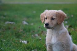 Dog Name - Golden Retriever