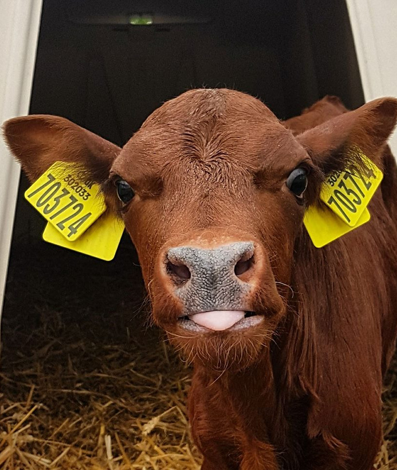 ORGANIC baby cow.jpg